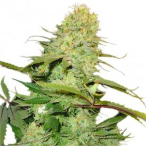 Big Buddha Cheese Feminized Seeds