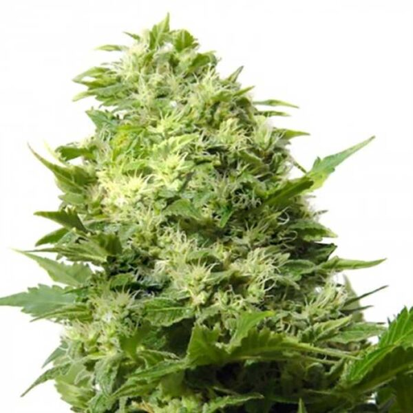 Buy Cheese Feminized Seeds Online | Order Cheese Feminized Seeds Online |