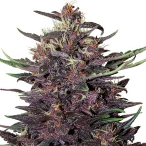Buy Purple Kush Cannabis Seeds Online| Purple Kush Cannabis Seeds for sale | Order Purple Kush Cannabis Seeds